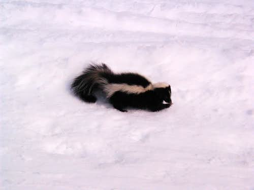 Skunks, raccoons and relatives