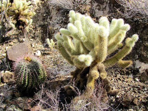 Teddy Bear Cholla & Barrel Cactus