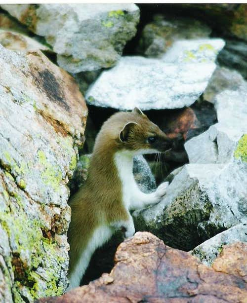 Stoat, in the Valley of...