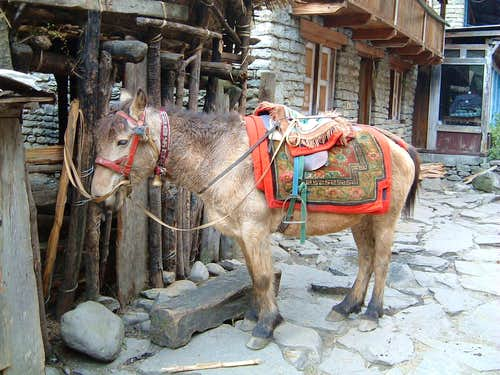 Annapurna trail - The donkey\'s rest