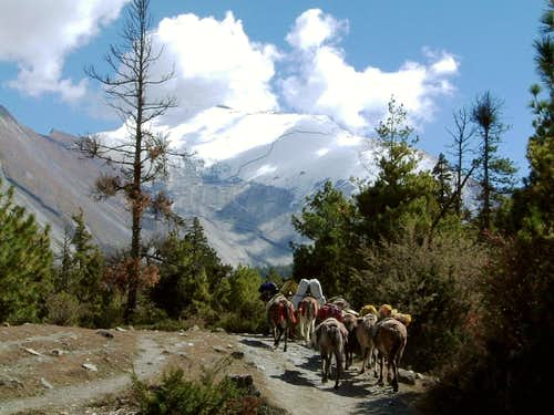 Annapurna trail - A donkeys' caravan near Pisang