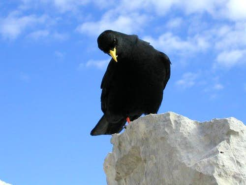 The alpine chough is very...