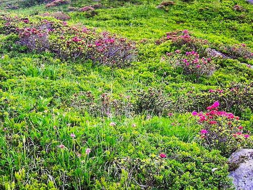 Rhododendron fields