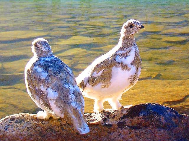 A pair of white-tailed ptarmigans