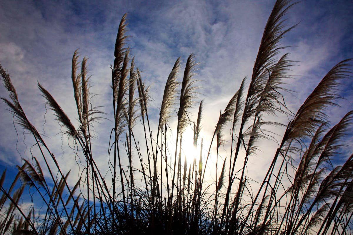 winter sun through pampas grass photos diagrams topos. Black Bedroom Furniture Sets. Home Design Ideas