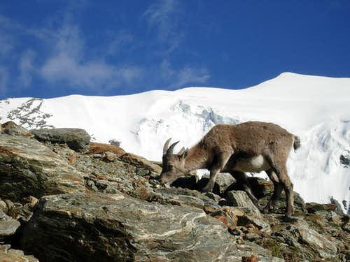 A puppy of ibex with Weissmies in the background