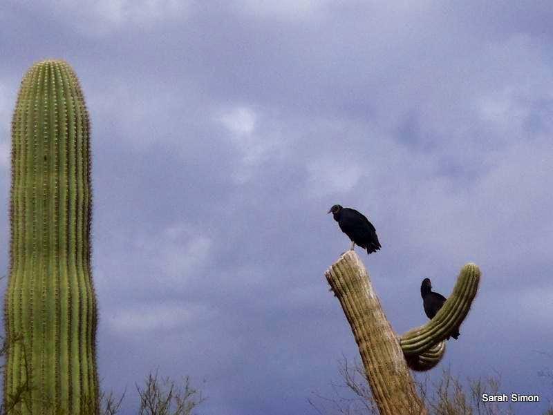Back Vultures