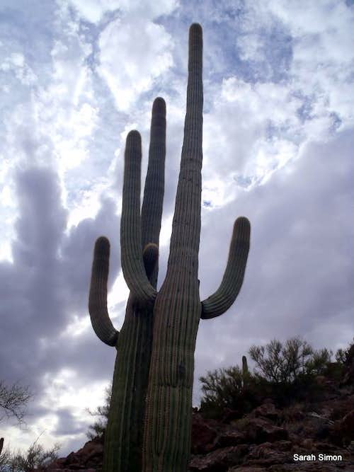 Saguaro Siblings