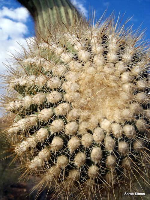 Saguaro Snout