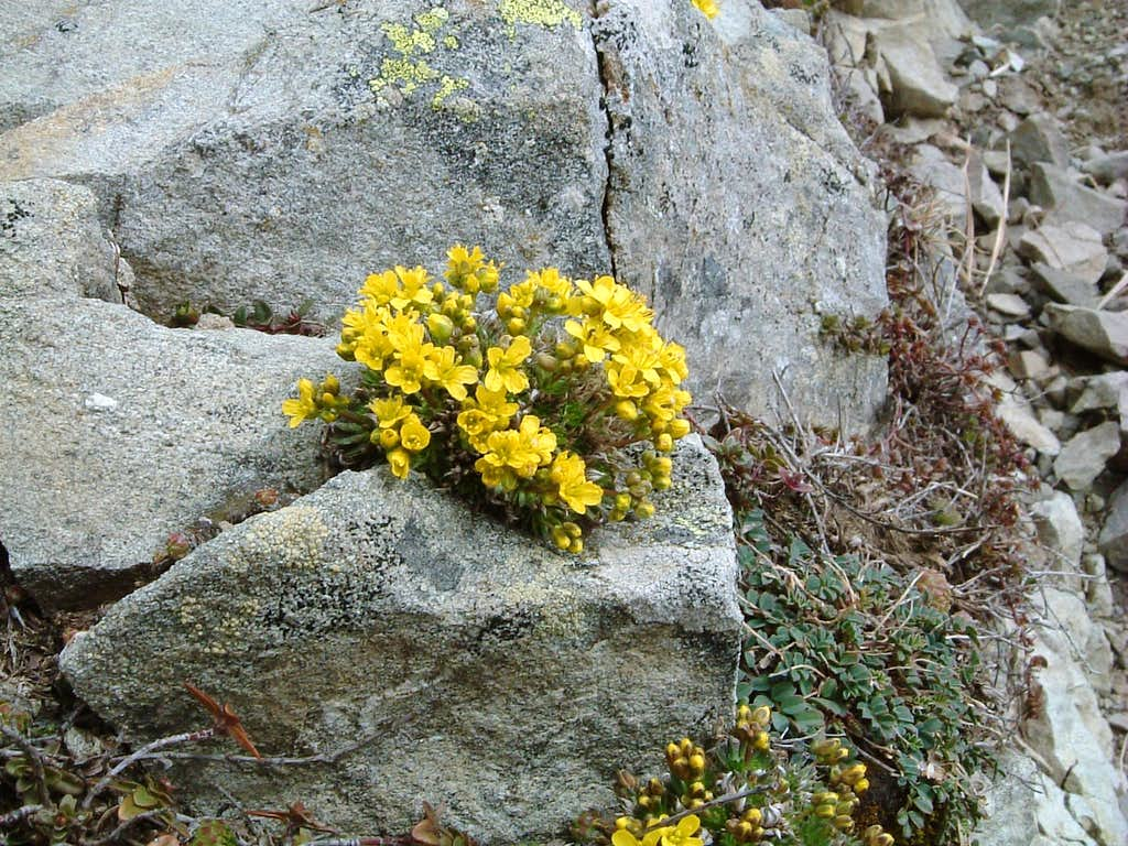 Draba aizoides, Eastern Parmense Apennine
