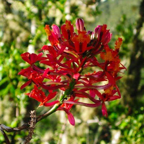 Jungle flower on Putucusi