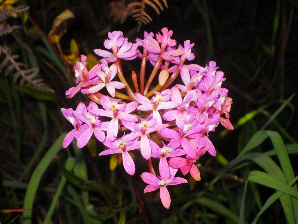 Flower on Putucusi