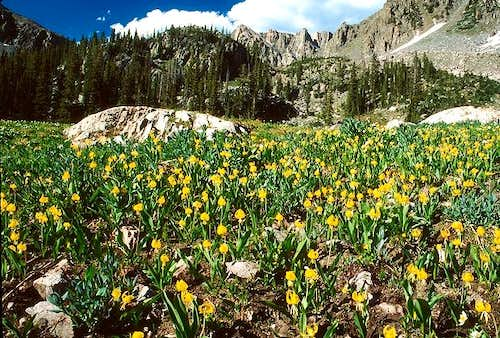 A field of Avalanche Lilies...