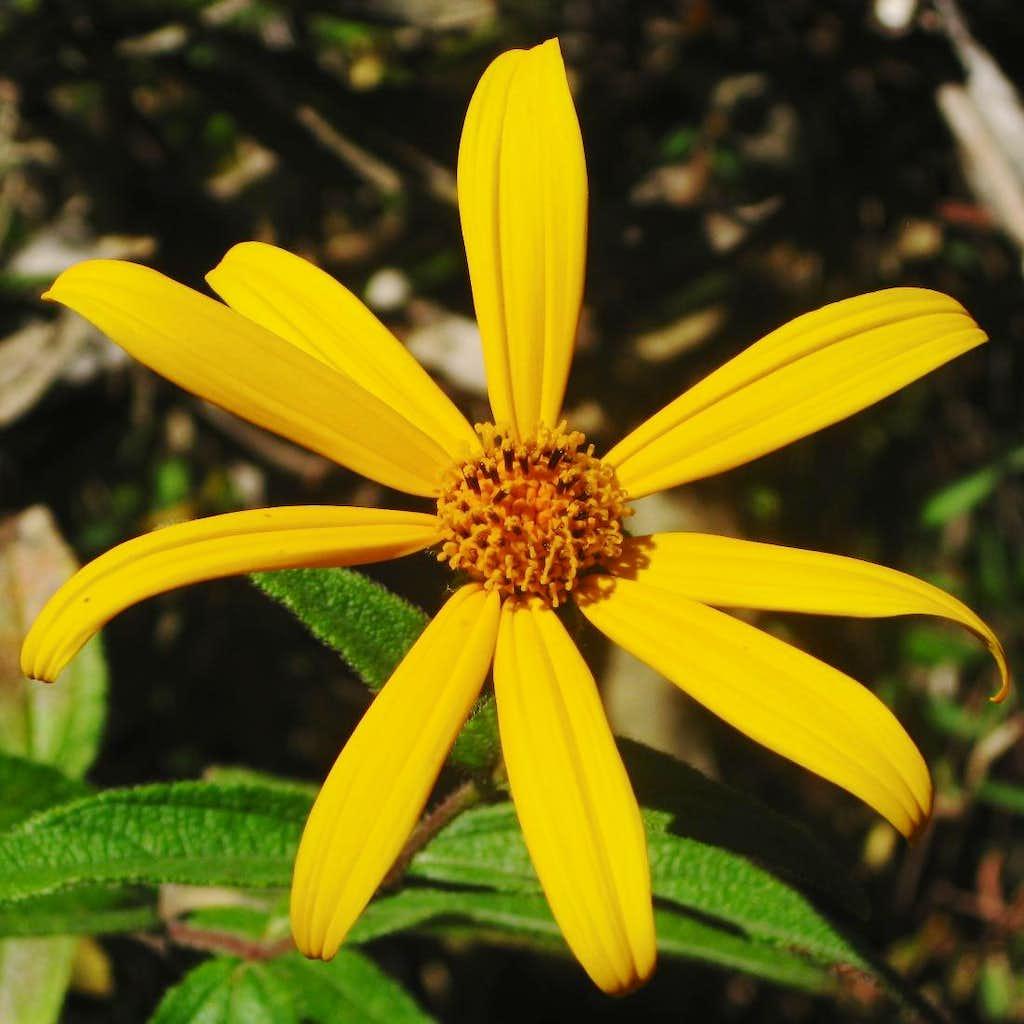 Flower on Cerro Machu Pichu