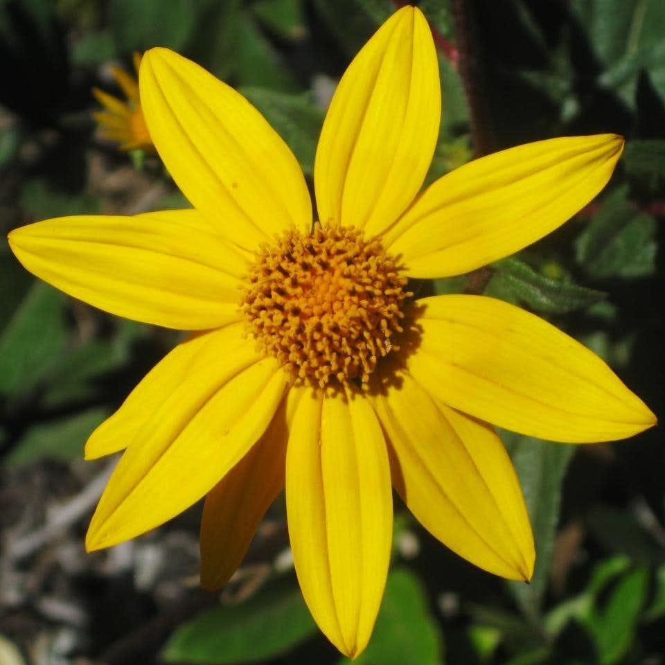 Flower on Cerro Machu Picchu