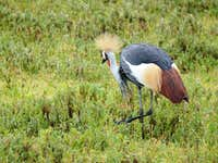East African Crested Crane