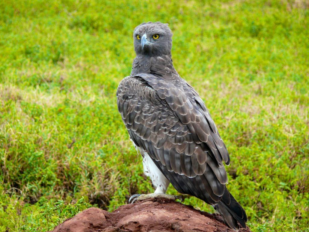 Martial Eagle : Photos, Diagrams & Topos : SummitPost