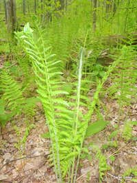 Large ferns near summit