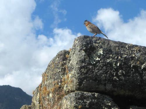One of the locals at Machu Picchu