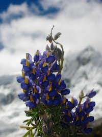Lupine and Ranrapalca