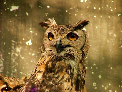 The Owl couple