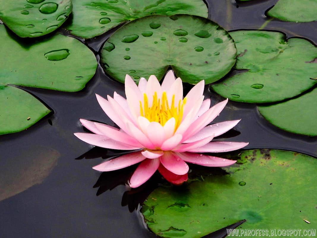 Nymphaea Rubra Gorgeous Water Flower Photos Diagrams