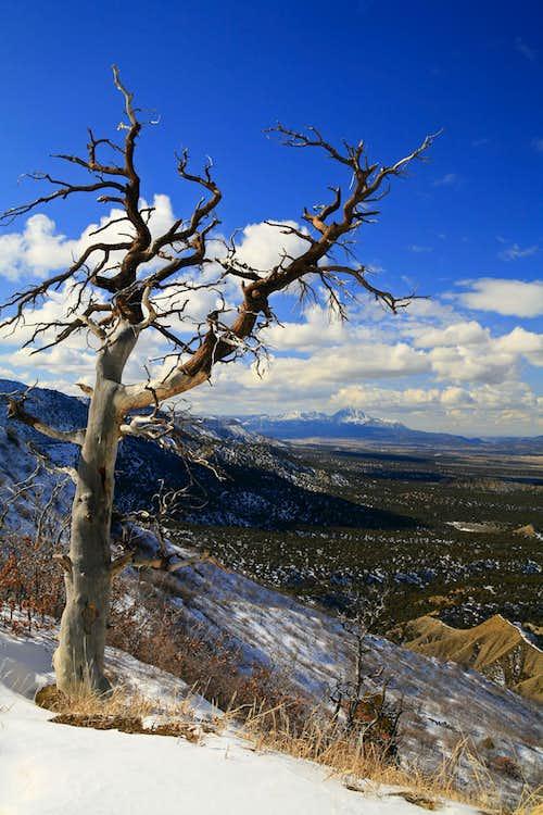 Tree and Ute Mountain