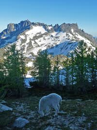 A Goat with McClellan Peak in the Background