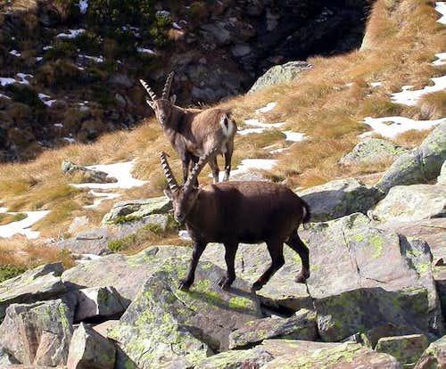 Steinbocks(Capra ibex).