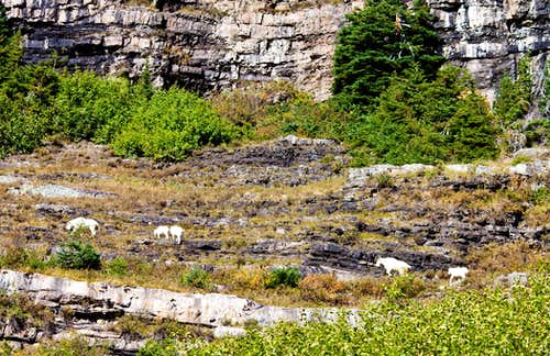 Mountain Goat group not far from Shortcut Switchback