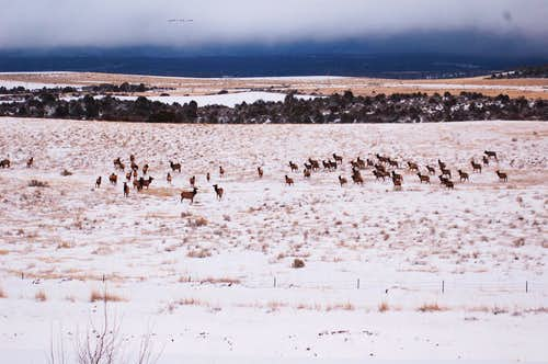 Wintering Elk Herd