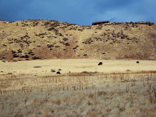 Buffalo on Lakeshore Trail