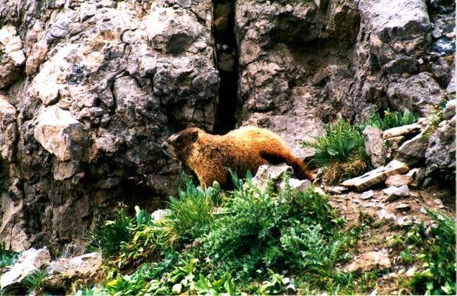 Photogenic marmot on the...