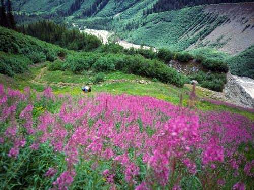 Fireweed in late June, along...