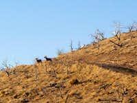Bighorn Sheep on Scrub!