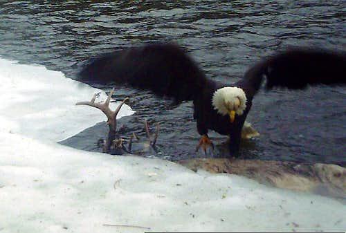 Lone eagle - landing on buck