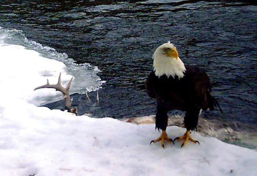 Lone eagle - buck in river