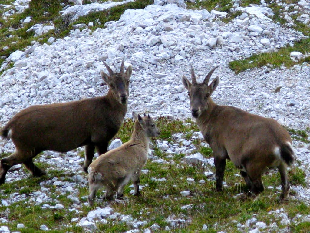 A little group of Ibex in Marmarole Group