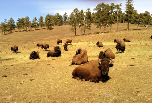 Buffalo herd at Genesee Park