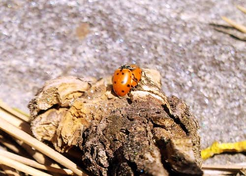 Ladybugs Mating.