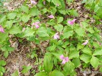 Trillium on Levelland Mountain