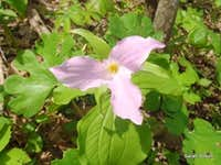 Trillium close-up