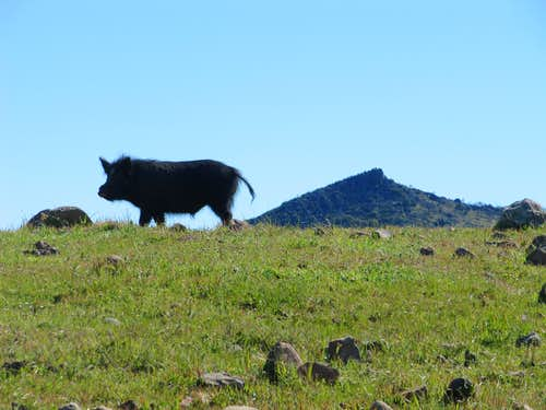 Wild Pig on way to Cathedral Peak