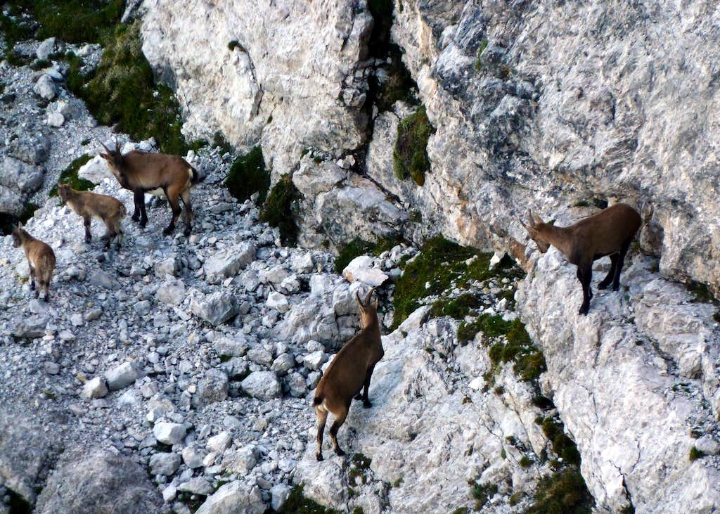A group of ibexes nearby Torre Artù, Marmarole Group