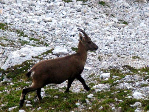 A puppy of ibex caught nearby Torre Pian dei Buoi, Marmarole