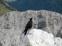 Alpine chough at the summit...