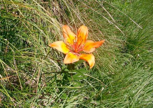 Orange lily  (Lilium bulbiferum L.)