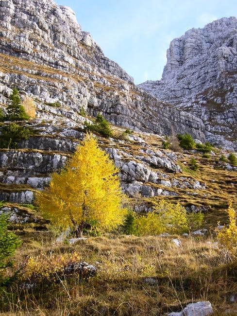 Yellow tree in Montasio