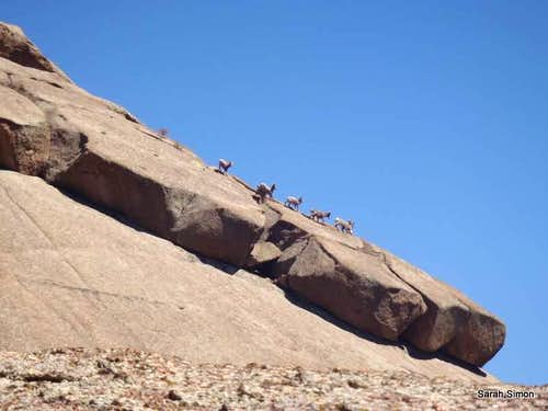 South Ramp Bighorn Sheep