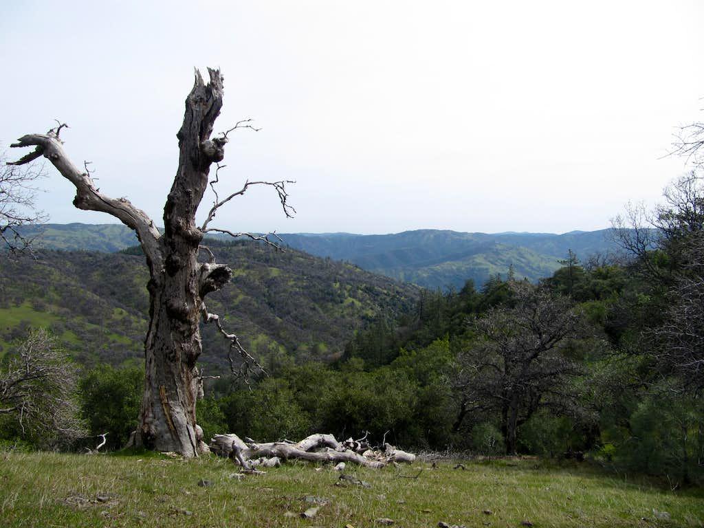 Dead oak above Arroyo Valle